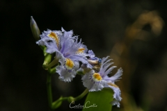 Japonica Iris Orchid from Madeira