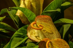 Yellow anthurium pigtail from Madeira